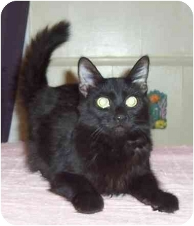Domestic Mediumhair Cat for adoption in Kansas City, Missouri - Trey