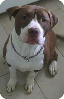 Mastiff Mix Dog for adoption in Livonia, Michigan - H Litter-Pumpkin-ADOPTED