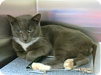 Domestic Shorthair Cat for adoption in Henderson, North Carolina - Ashton