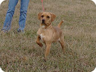 Beagle Mix Dog for adoption in Cameron, Missouri - Brooke