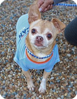 Chihuahua Dog for adoption in Fort Valley, Georgia - Gizmo