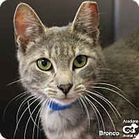 Adopt A Pet :: Bronco - Carencro, LA