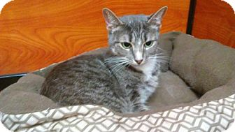 Domestic Mediumhair Cat for adoption in Flushing, New York - Glenda