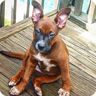 Boxer Mix Puppy for adoption in Roswell, Georgia - Brenna