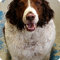 Adopt A Pet :: Skeeter - Franklin, NH