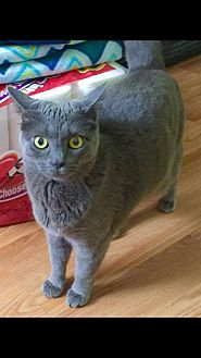 Domestic Shorthair Cat for adoption in Irwin, Pennsylvania - Daisy