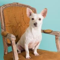 Chihuahua Mix Dog for adoption in Dallas, Texas - Stitch