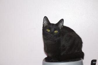 Domestic Shorthair/Domestic Shorthair Mix Cat for adoption in Ellicott City, Maryland - Shiitake