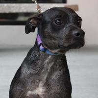 Pug/English Bulldog Mix Dog for adoption in Brunswick, Georgia - Baskin