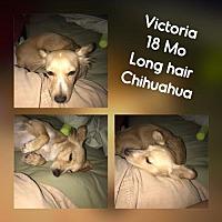 Chihuahua Dog for adoption in Phoenix, Arizona - Victoria