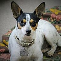 Adopt A Pet :: Lavinia - a little lady - Norwalk, CT