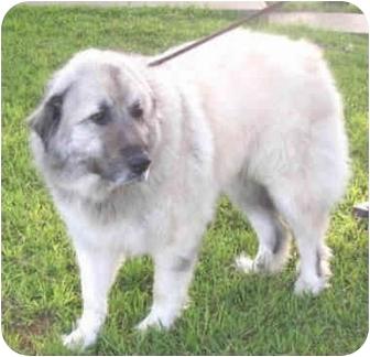 Great Pyrenees/Anatolian Shepherd Mix Dog for adoption in Kyle, Texas - Vista