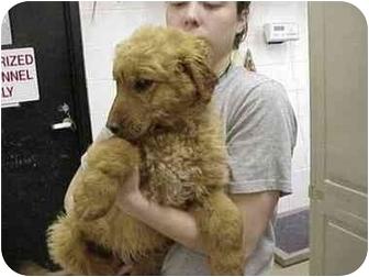 Golden Retriever/Poodle (Standard) Mix Puppy for adoption in Avon, New York - Gabe