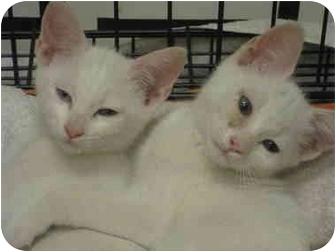 Domestic Shorthair Kitten for adoption in Houston, Texas - Beryl
