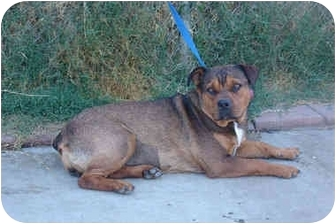 Rottweiler/Bulldog Mix Dog for adoption in West Los Angeles, California - Kiki
