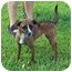 Photo 1 - Italian Greyhound/Rat Terrier Mix Dog for adoption in Bloomsburg, Pennsylvania - Gertie