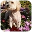 Photo 2 - Lhasa Apso/Poodle (Miniature) Mix Dog for adoption in San Clemente, California - Chance