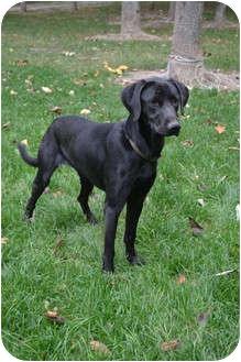 Labrador Retriever Dog for adoption in Lewisville, Indiana - Jocelyn