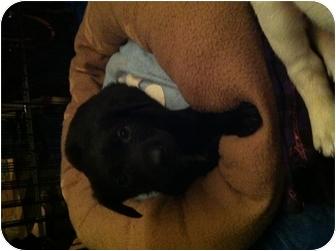 Labrador Retriever/German Shepherd Dog Mix Puppy for adoption in El Segundo, California - Juliette