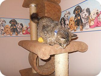 Maine Coon Kitten for adoption in Belvidere, Illinois - Phillip