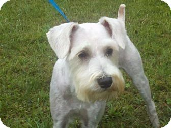 Schnauzer (Miniature) Dog for adoption in Hagerstown, Maryland - Jagger
