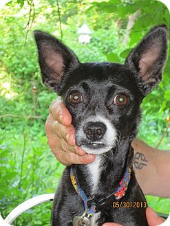 Chihuahua/Miniature Pinscher Mix Dog for adoption in Mount Kisco, New York - Pepper