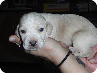 Labrador Retriever Mix Puppy for adoption in Hearne, Texas - Comet