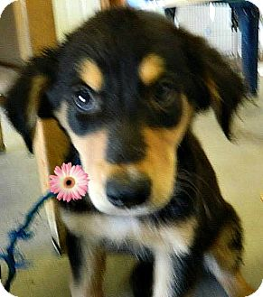Sheltie, Shetland Sheepdog/Hound (Unknown Type) Mix Puppy for adoption in Shelter Island, New York - Althea