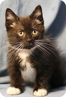 Domestic Mediumhair Kitten for adoption in Winston-Salem, North Carolina - Sweet Josie
