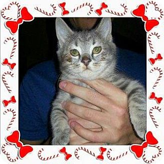 Domestic Shorthair Kitten for adoption in HILLSBORO, Oregon - Slate and Apco - Brother / Sister duo
