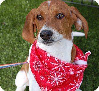 Basset Hound/Beagle Mix Puppy for adoption in Cumming, Georgia - Tank