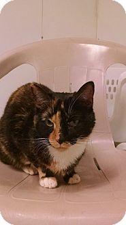 Domestic Mediumhair Cat for adoption in Diamond Springs, California - Dahlia