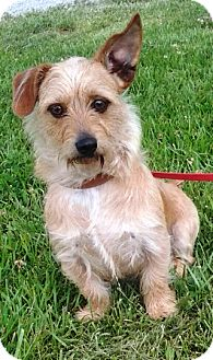 Dachshund/Yorkie, Yorkshire Terrier Mix Puppy for adoption in Oswego, Illinois - I'M ADOPTED Joey Bowen :)