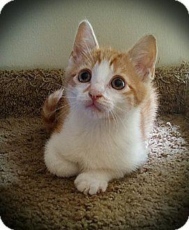 Domestic Shorthair Kitten for adoption in Richmond, Virginia - Tater Tot
