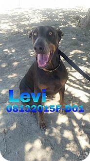Doberman Pinscher Mix Dog for adoption in DELANO, California - LEVI