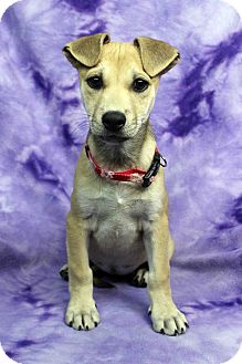 Labrador Retriever Mix Puppy for adoption in Westminster, Colorado - Pookie