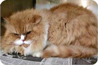 Persian Cat for adoption in Northfield, Ohio - Goldie