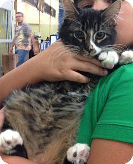 Domestic Longhair Kitten for adoption in San Antonio, Texas - Harley