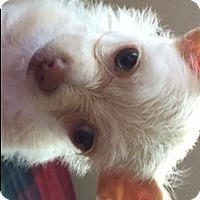 Adopt A Pet :: Josie - La Costa, CA