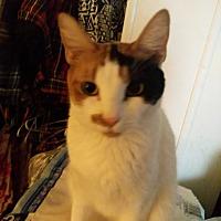 Turkish Van Cat for adoption in Cerritos, California - Zoey