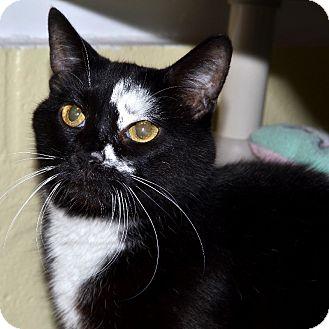 Domestic Mediumhair Cat for adoption in Wheaton, Illinois - Butterball