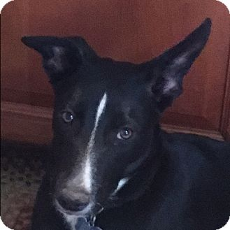 Border Collie Mix Puppy for adoption in San Pedro, California - JOSEY