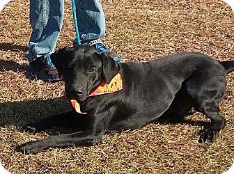 Labrador Retriever Mix Dog for adoption in Carthage, North Carolina - Blacky