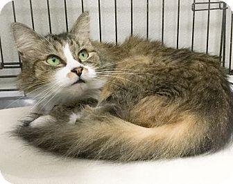 Domestic Longhair Cat for adoption in Webster, Massachusetts - Villa