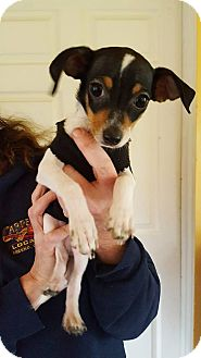 Chihuahua/Toy Fox Terrier Mix Puppy for adoption in Sacramento, California - Toby!