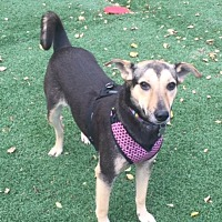 Adopt A Pet :: Shira - Cedar Rapids, IA