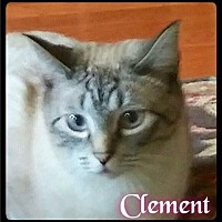 Siamese Cat for adoption in Maumelle, Arkansas - Clement - Foster / 2015