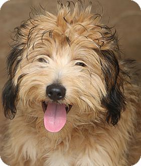 Wheaten Terrier Mix Dog for adoption in Bedminster, New Jersey - Cricket