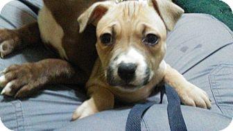 Pit Bull Terrier/Labrador Retriever Mix Puppy for adoption in Vernon, Connecticut - Mercury