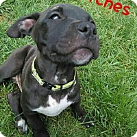 Adopt A Pet :: Patches - Wyoming, MI